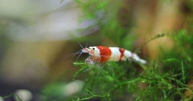 7 règles opur un aquarium crevettes