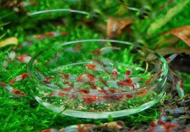 nourriture crevette aquarium différence